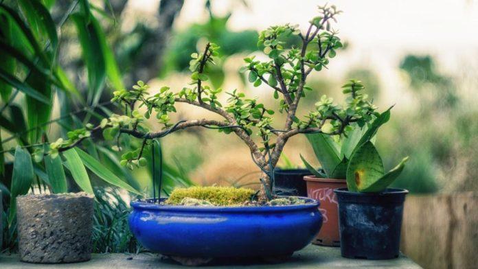 types of bonsai